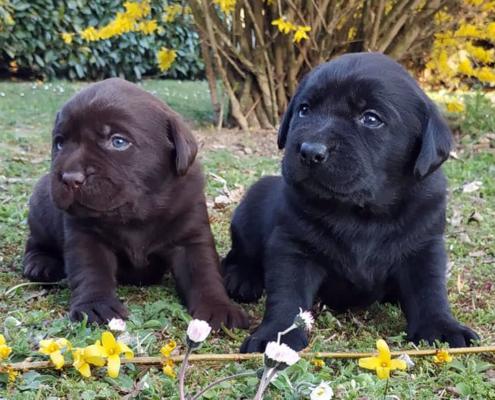 Cuccioli Labrador Allevamento Dei Tre Laghi