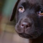 Febbre nel cucciolo: cause, sintomi e rimedi